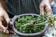 Någon växande små bonsai Arkivbild