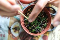 Någon växande små bonsai Royaltyfria Bilder