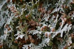 Någonsin gräsplanfilialer av thujaen med knoppar som täckas med frost Royaltyfri Bild