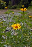 Några av gula blommor arkivbild