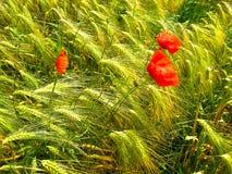 Några blommor av en röd vallmo på bakgrunden av ett vetefält arkivfoto