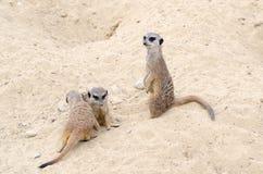 Några gulliga och härliga meerkats sitter i sanden royaltyfri bild