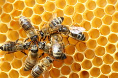 Några honungbin arbetar royaltyfria foton
