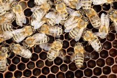 Några honungbin på en bivax arkivfoto