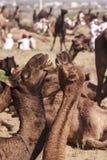 Några kamel i Pushkar, Mela Arkivfoton