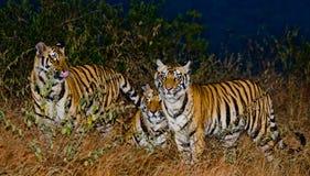 Några lösa Bengal tigrar i djungeln i predawnskymningen india 17 2010 för india för elefant för bandhavgarhbandhavgarthområde uma Arkivbilder