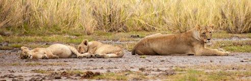 Några lejon vila, på safari i Kenya royaltyfri foto