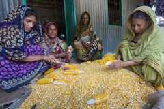 Några lokala kvinnor som samlar havre, Manikgonj, Bangladesh arkivfoton