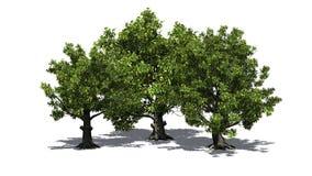 Några olika träd för amerikansk bokträd med skugga på golvet stock illustrationer