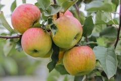 Några röda äpplen på filial Arkivfoto