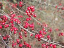 Några röda ros-höfter fotografering för bildbyråer