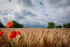 Några röda vallmo står framme av en brun cornfield, och himlen är full av mörka moln royaltyfria foton