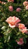 Några rosa rosor royaltyfria bilder