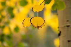 Några svarta rimed guld- asp- sidor för höst hänger från trädet med en suddig bakgrund av gräsplan- och gulinglövverk royaltyfri foto