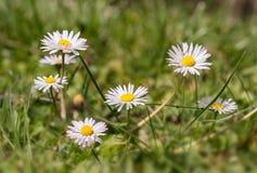 Några tusenskönor i fälten på en härlig vårdag Arkivfoton