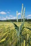Några veteöron på ett kornfält Royaltyfria Foton