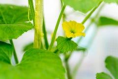 Når att ha blommat, framkallar ett litet Fotografering för Bildbyråer