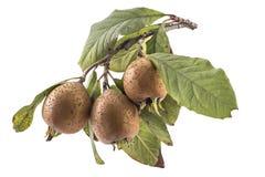 Nèfles organiques fraîches Photo stock