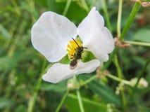 néctar Imagens de Stock Royalty Free