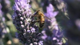 Néctar africano del hallazgo de la abeja de la miel en flores en un arbusto de la lavanda almacen de video
