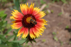 Néctar anaranjado La abeja dentro de la flor amarillo-naranja Imagenes de archivo