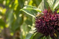 Néctar bebendo Foto de Stock Royalty Free