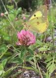 Néctar bebendo da borboleta do branco de couve de uma flor Fotos de Stock