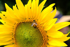 Néctar bebendo de um pólen do girassol, flor amarela da abelha com Imagens de Stock Royalty Free