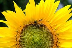 Néctar bebendo de um pólen do girassol, flor amarela da abelha com Imagens de Stock