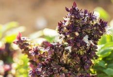 Néctar bebendo VII Imagem de Stock