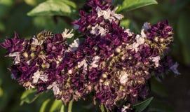 Néctar bebendo XII Fotos de Stock Royalty Free