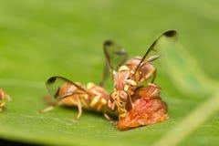 Néctar da abelha nas folhas Foto de Stock