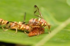Néctar da abelha nas folhas Fotos de Stock Royalty Free