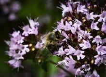 Néctar de consumición de la abeja con las flores violetas Imagen de archivo libre de regalías