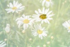 Néctar de consumición de la abeja de la flor de la margarita Fotos de archivo libres de regalías