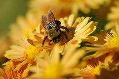 Néctar de consumición de la abeja de una flor Imagen de archivo