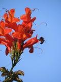 Néctar de consumición de la abeja de una flor Imágenes de archivo libres de regalías