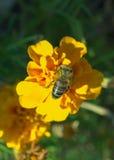 Néctar de consumición de la abeja que se sienta en la flor anaranjada Imágenes de archivo libres de regalías