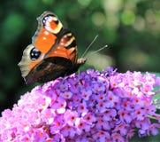 Néctar de consumición de la mariposa Imagen de archivo