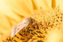Néctar de consumición de la polilla Imagen de archivo