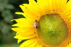 Néctar de consumición de un polen del girasol, flor amarilla de la abeja con Fotografía de archivo