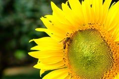 Néctar de consumición de un polen del girasol, flor amarilla de la abeja con Fotos de archivo