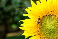 Néctar de consumición de un polen del girasol, flor amarilla de la abeja con Imagenes de archivo
