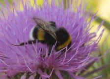 Néctar de consumición del abejorro que se sienta en una flor Fotografía de archivo