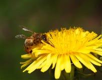 Néctar de consumición de la abeja Imágenes de archivo libres de regalías