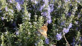 Néctar de consumición de la mariposa de las flores del romero Planta de Rosemary en las flores que florecen en estación de pri almacen de video