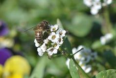 Néctar de consumición ocupado de la abeja Imagenes de archivo
