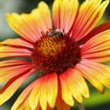 Néctar de consumición ocupado de la abeja de la flor Imágenes de archivo libres de regalías