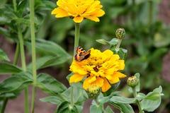 Néctar de la bebida de la mariposa en las flores Imagen de archivo libre de regalías