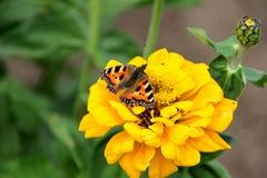 Néctar de la bebida de la mariposa en las flores Imágenes de archivo libres de regalías